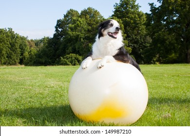 An Australian Shepherd Dog doing exercises on a Yoga ball in the park.  Stretching is very good for your dog.