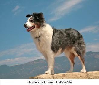 Australian shepherd dog in heroic pose against blue sky