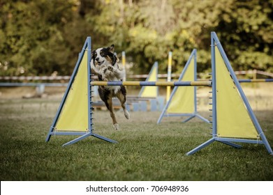Australian Shepherd Dog jumping an obstacle on the agility course