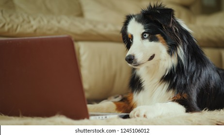 The Australian Shepherd dog looks at the video on the laptop screen. Funny video with animals concept