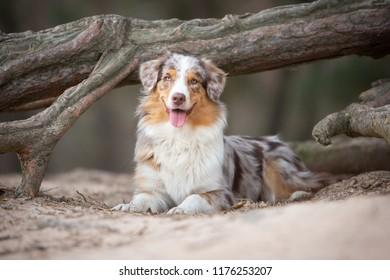 Australian Shepherd dog lying in front of a tree