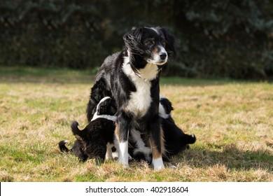australian shepherd dog mother with her puppies