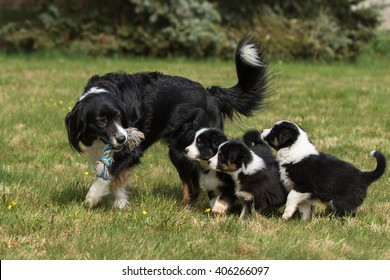 Australian shepherd dog mother with puppy