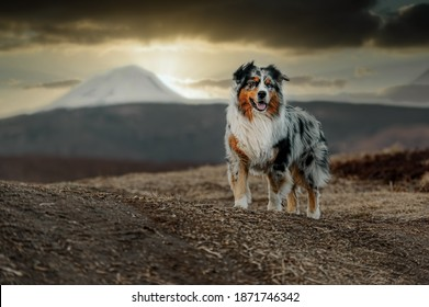 Australian shepherd dog on the background of the sunset in autumn