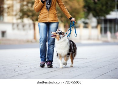 australian shepherd dog on a leash with owner in the city