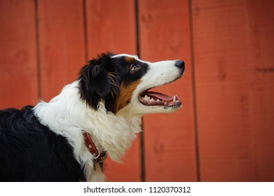 Australian Shepherd dog outdoor portrait against red wood fence