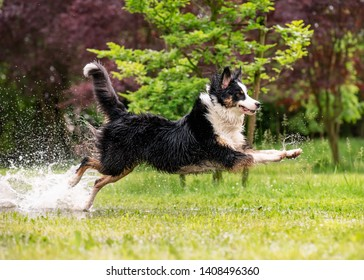 Australian Shepherd Dog playing on green grass at park. Happy wet Aussie run on watery meadow after rain, water sprinkles. Dog have fun in puddle at outdoors.