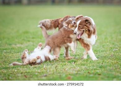 Australian shepherd dog playing with puppies
