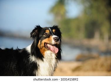 Australian Shepherd dog portrait at tropical beach
