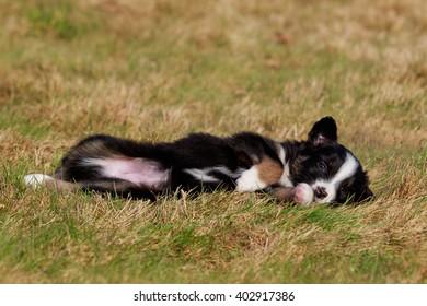 australian shepherd dog puppy on meadow