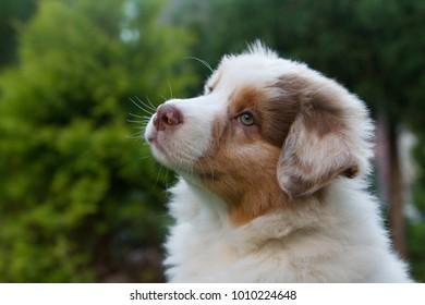 Australian shepherd dog puppy posing in the green garden.