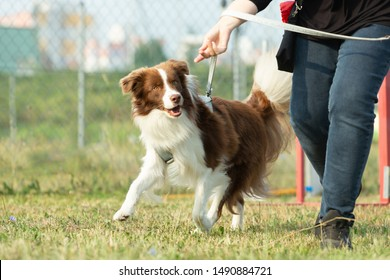 A australian shepherd dog is running on a green meadow in a dog zone or dog school.