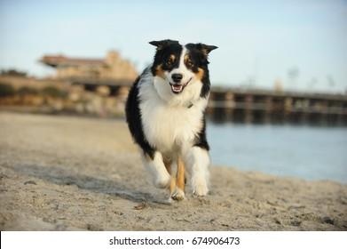 Australian Shepherd dog running on Del Mar dog beach