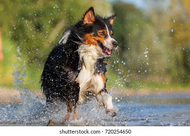 Australian Shepherd dog runs through the water of a lake