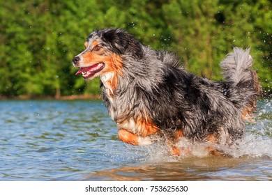 Australian Shepherd dog runs through the water