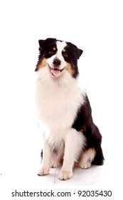 Australian Shepherd dog sitting down looking at the camera with a smile