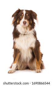 Australian shepherd dog sitting isolated on white background and looking to the camera