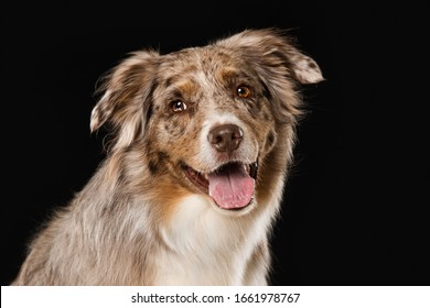 Australian shepherd dog sitting on black background and looking to the camera
