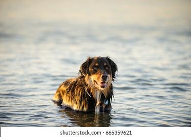 Australian Shepherd dog standing in water
