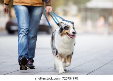australian shepherd dog walking on a leash