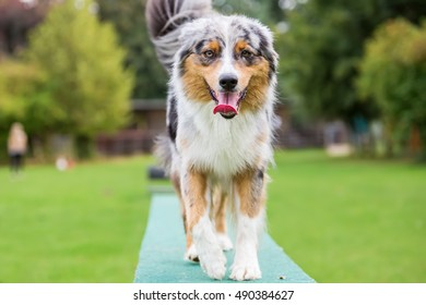 Australian Shepherd dog walks on a plank of an agility course