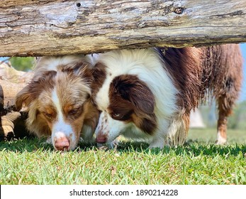 Australian shepherd dogs sniffing under logs, canine enrichment, Sense of smell