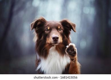 Australian shepherd doing high five