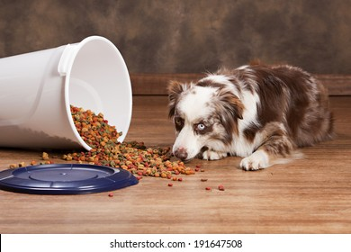 Australian shepherd eating from a spilled tub of dog food.