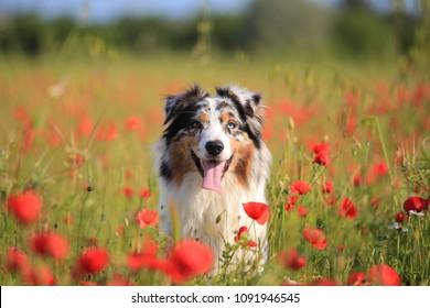 Australian shepherd in a field