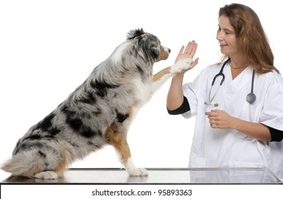 Australian Shepherd giving its paw to a vet in front of white background