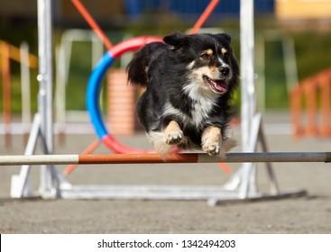 Australian shepherd  jumping on an agility training tire on a dog playground.