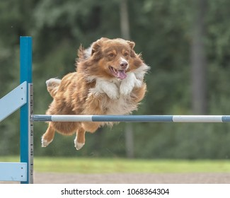 Australian shepherd jumps over an agility hurdle in agility competition