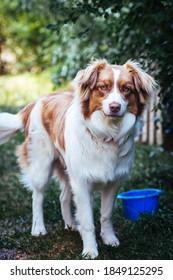 The Australian Shepherd, a lean, tough ranch dog. It is a medium-sized worker with a keen, penetrating gaze in the eye.