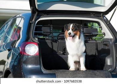 Australian shepherd looks out of a car