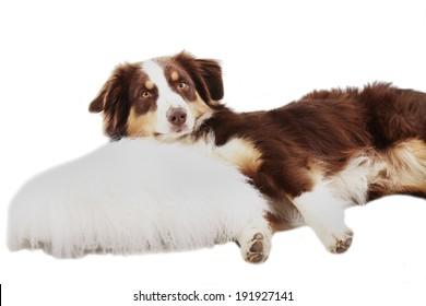 Australian Shepherd lying