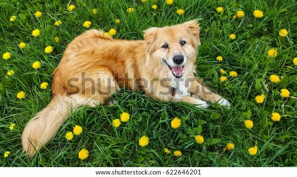 Australian Shepherd mix dog lay down look up on dandelion in a field of green grass