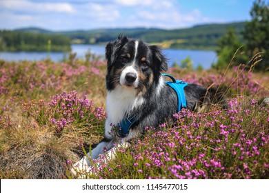 australian shepherd in the nature