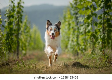 Australian Shepherd in nature. Dog in the vineyard. Pet, healthy lifestyle, travel, Europe