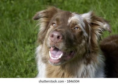 Australian shepherd in park
