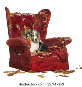 Australian Shepherd and Poodle on a destroyed armchair, isolated on white