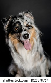Australian Shepherd portrait in studio