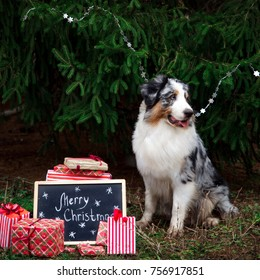 Australian shepherd posing under the christmas tree with wrapped gift boxes and black chalk board with inscription: Merry Christmas! New year 2018 symbol concept.