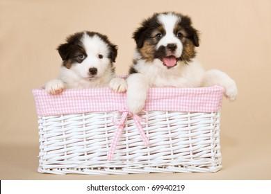 Australian Shepherd puppies inside white pink basket