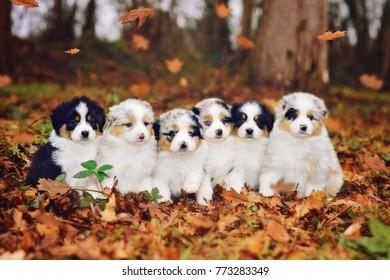 Australian shepherd puppies outside