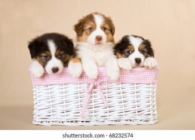 Australian Shepherd puppies in pink and white woven basket