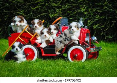 Australian shepherd puppies in a toy car