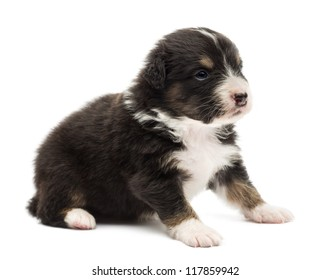 Australian Shepherd puppy, 22 days old, sitting and looking away against white background
