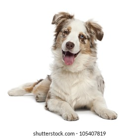 Australian Shepherd puppy, 6 months old, portrait against white background