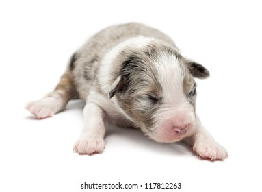Australian Shepherd puppy, 7 days old, lying against white background