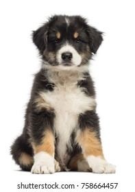 Australian Shepherd puppy, 8 weeks old, sitting and portrait against white background